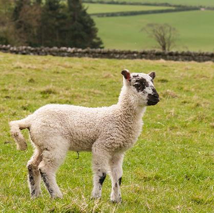 sheep - podbean